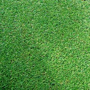 Agrostis stolonifera Tee One