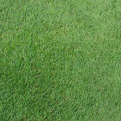 Agrostis stolonifera 007